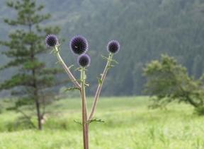 Echinops_setifer.jpg