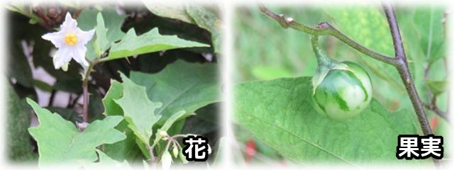 Solanum_carolinense.jpg
