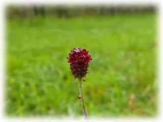 Sanguisorba_officinalis.jpg